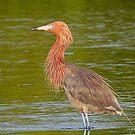 A Reddish Egret by jozi1