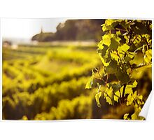 grapevine field in the italian countryside Poster