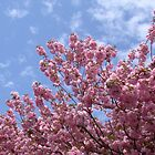 Pink Flowering Tree in Springtime by Jeanine Molnar