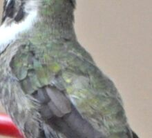 BLACK CHINNED ANNA'S HUMMINGBIRD Sticker