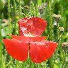 Red Beauty by Marijane  Moyer