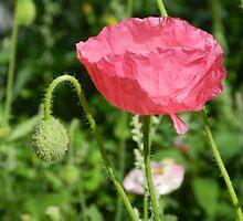 Pretty Pink Poppy by Marijane  Moyer