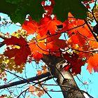Orange Maple Leaves by Shulie1