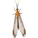 winged critter Australia by Zefira