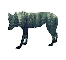 .Wolf and Misty Evergreen Forest Silhouette   Photographic Print