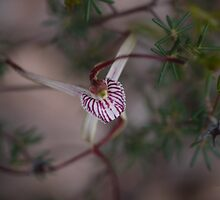 Chapman Spider Orchid by Julia Harwood