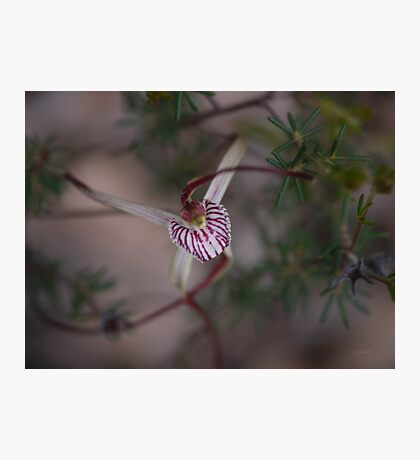 Chapman Spider Orchid Photographic Print