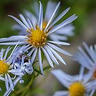 New England Aster by Rebecca Bryson