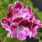 Pelargonium Bouquet by Michael Matthews