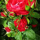 *Alec's Red (Framed by Buds) - Spring 2015 - My Garden* by EdsMum