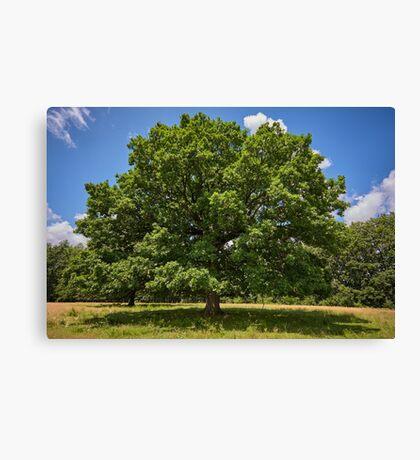 Centennial oak tree Canvas Print