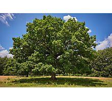 Centennial oak tree Photographic Print
