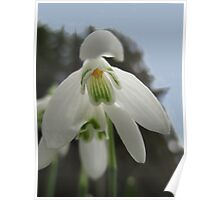 Snowdrops In The Forest Poster