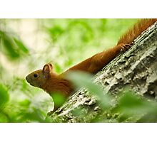 Squirrel in a tree Photographic Print