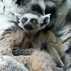 Baby Ring-tailed Lemur by Margaret Saheed