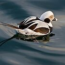 Sad Looking Male Long Tail Duck by Gerda Grice