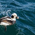Long Tail Duck Surfacing in Very Choppy Water by Gerda Grice