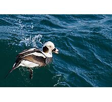 Long Tail Duck Surfacing in Very Choppy Water Photographic Print