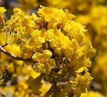 Tree of gold - (Tabebuia Argentea)  by Margaret Stanton