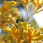 Yellow Kangaroo Paw  by Margaret Stanton