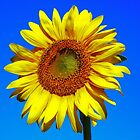 Sunflower by James  Key