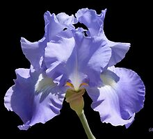 One Beautiful Purple Iris  by SummerJade