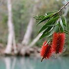 Bottlebrush, Stony Creek, Byfield NP.  by Margaret Stanton