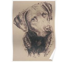 Chesapeake Bay Retriever Poster