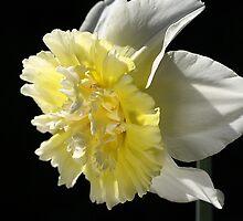 Daffodil Delight by Joy Watson