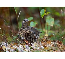 Spruce grouse in Algonquin Park Photographic Print