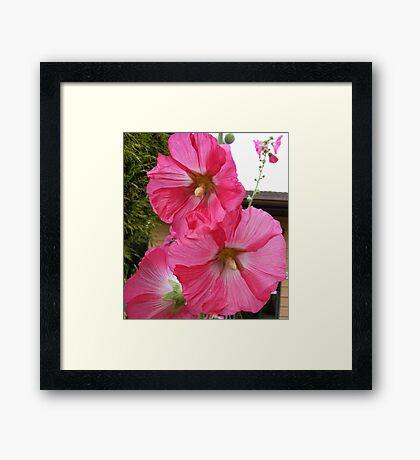 PINK HOLLYHOCK FLOWER BLOSSOMS Framed Print