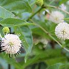Bumblebee on Buttonbush Flower by Ben Waggoner