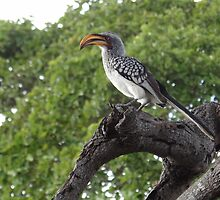 Southern Yellow-billed Hornbill by Hermien Pellissier