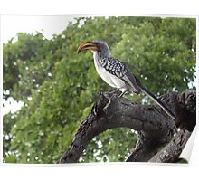 Southern Yellow-billed Hornbill Poster