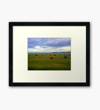 Grazing Cows Framed Print
