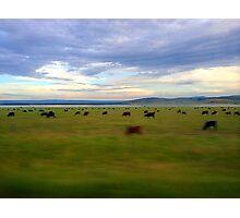 Grazing Cows Photographic Print