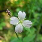 Broad-Leaved Willowherb by Louise Parton