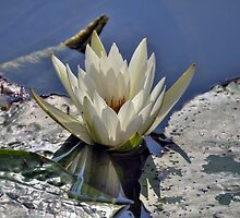 White Water Lily by venny