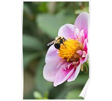 Baby Bumble Bee  Poster