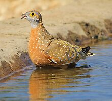 Burchell's Sand-grouse - Life Quenching Water by LivingWild