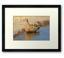 Burchell's Sand-grouse - Life Quenching Water Framed Print