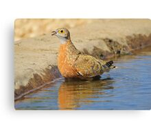 Burchell's Sand-grouse - Life Quenching Water Canvas Print