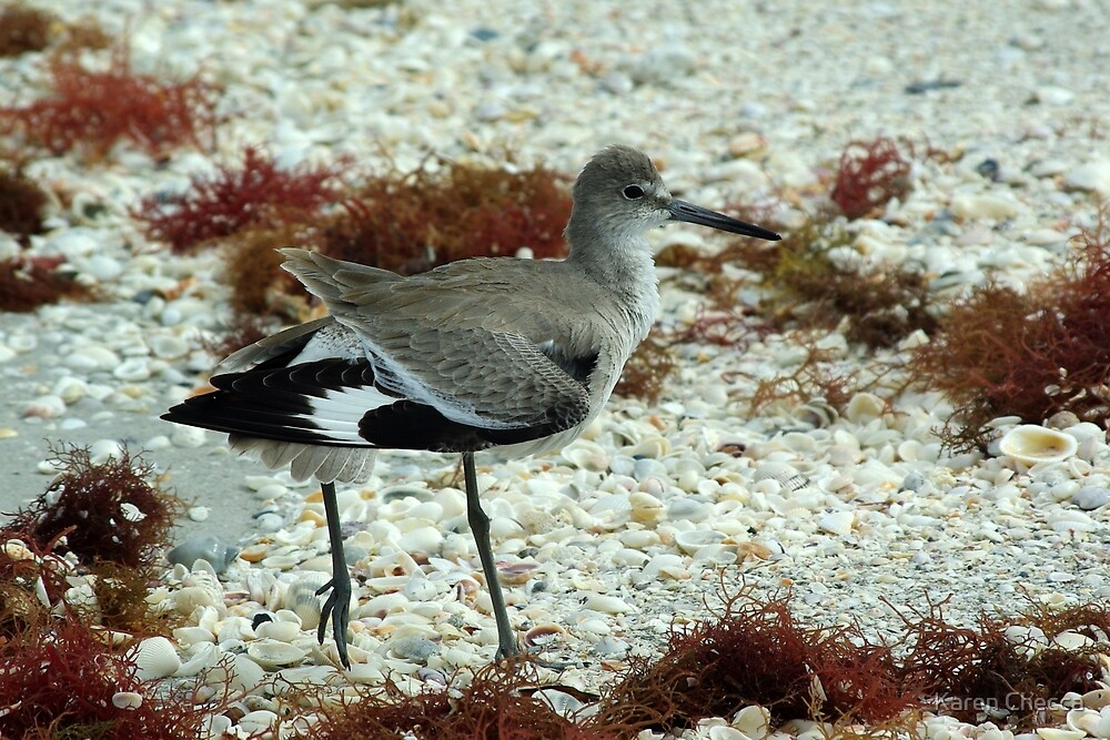 Willet by Karen Checca