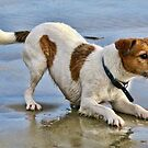 I'm Ready To Go-Jack Russell Terrier  by lynn carter