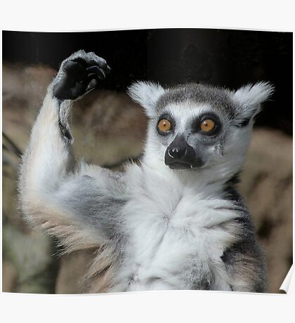 Is It Really That High - Ring-tailed Lemur Poster