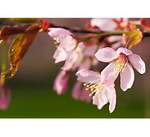 Cehrry Blossom Photographic Print