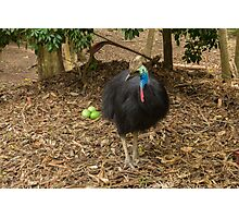 Southern Cassowary and Eggs Photographic Print