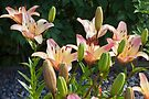 Pink Lilies  by Sandra Foster