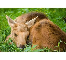 Baby Moose Photographic Print