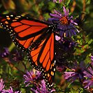 Monarch on New England Aster    by Kane Slater